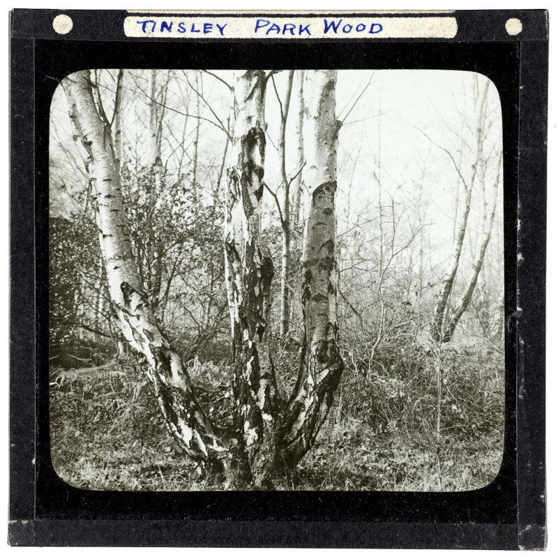 Three legged birch, Tinsley Park Wood.