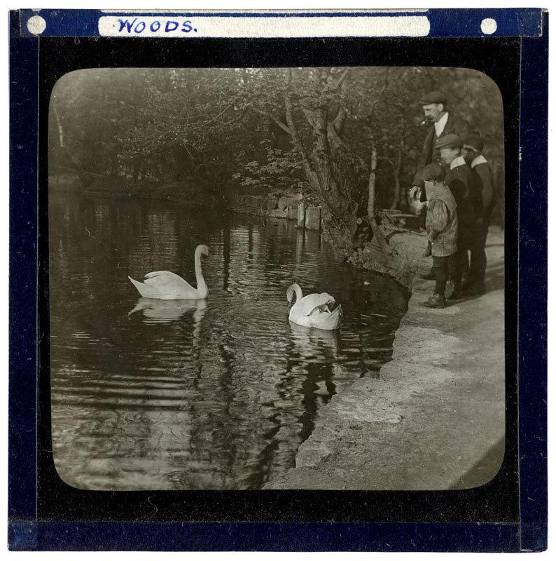 Kings Swans, Whiteley Woods,